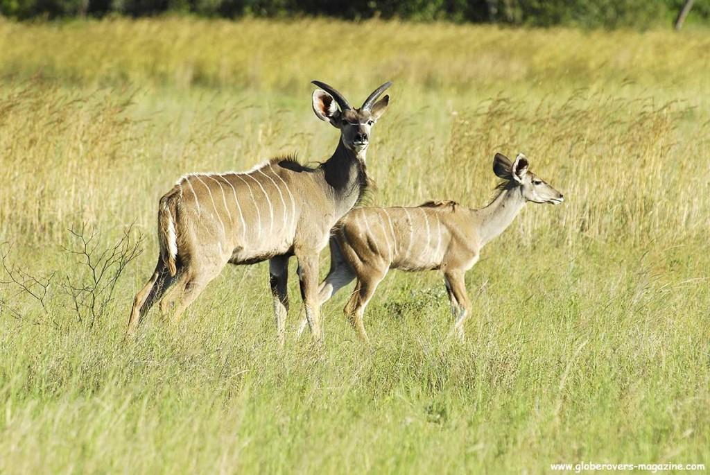 Mabula South Africa  city photos gallery : Kudu , Mabula Private Reserve, South Africa